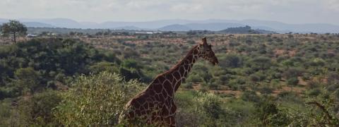 Giraffe on savannah in Kenya